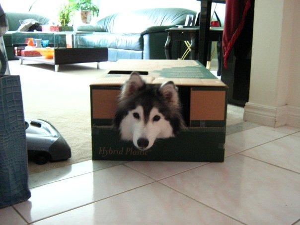 husky cane gatto