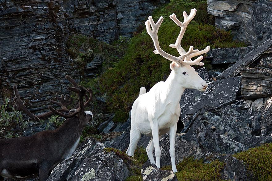 cervo albino
