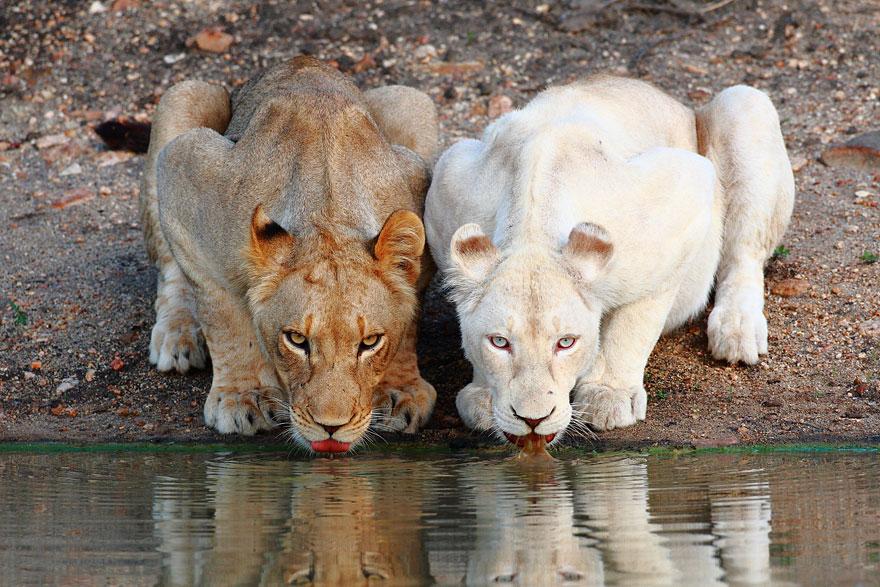 leonessa albina