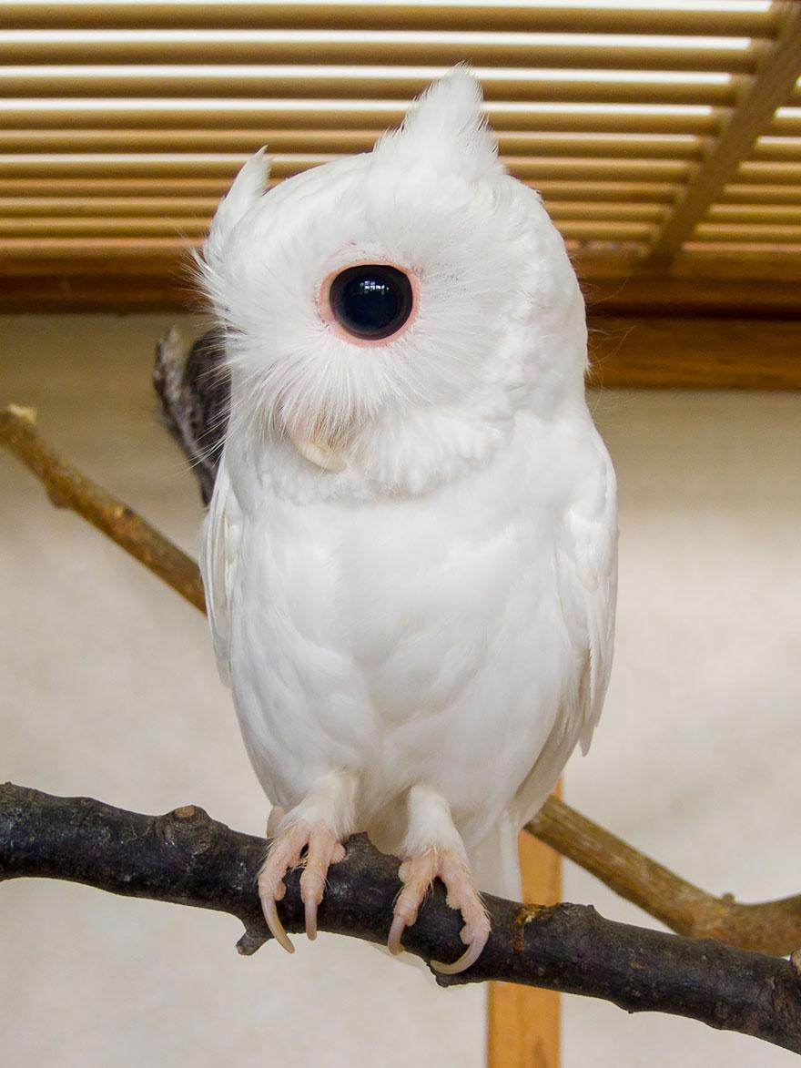 gufo albino