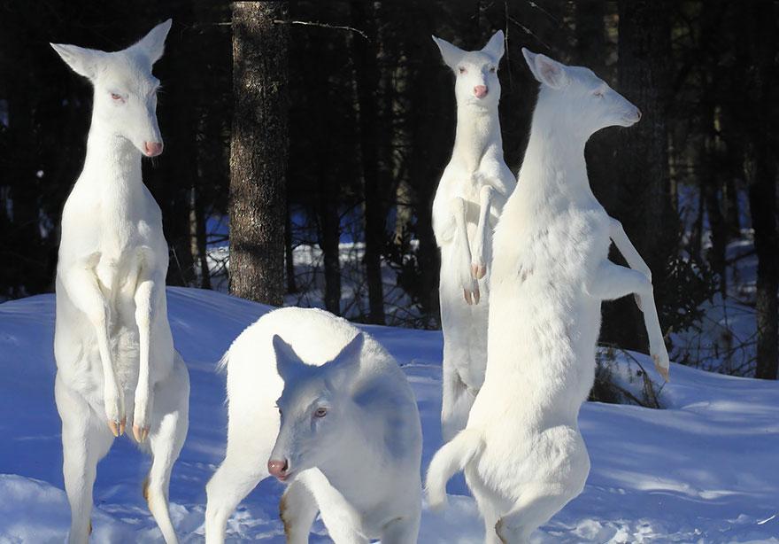 canguri albini