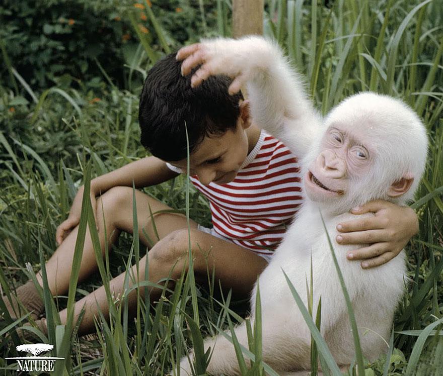 gorilla albino