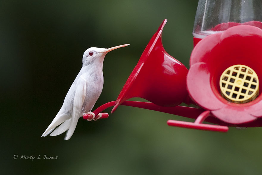 colibri albino