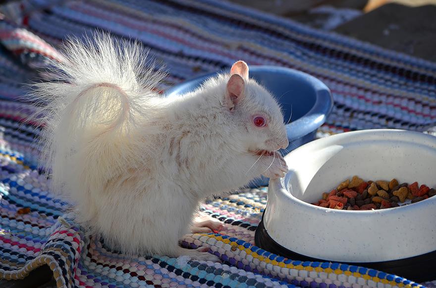 scoiattolo albino