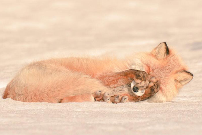 Volpe Rossa di Hokkaido