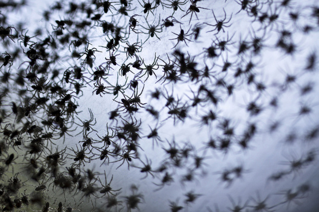 piovono ragni in australia ballooning