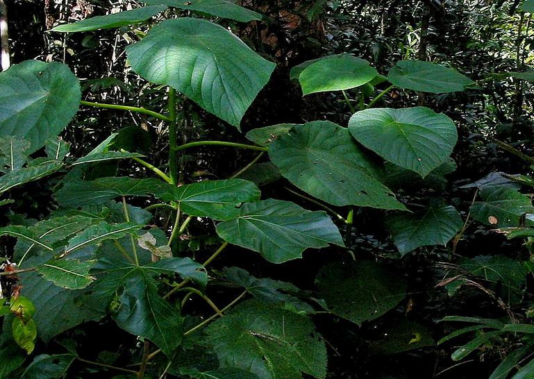 dendrocnide moroides