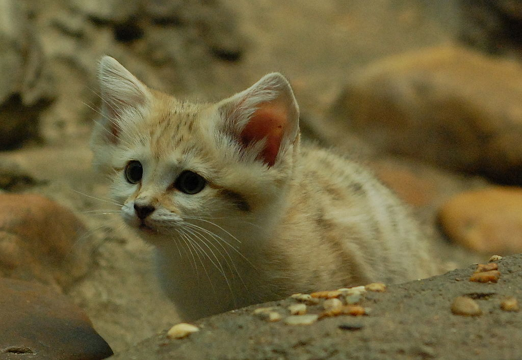 gatto delle sabbie cucciolo