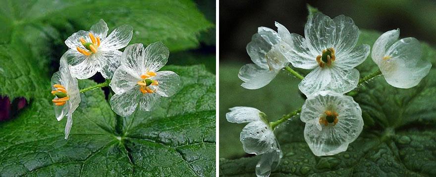fiori scheletro, trasparenti quando piove