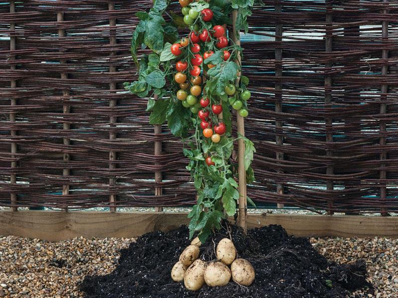 pianta patate pomodori