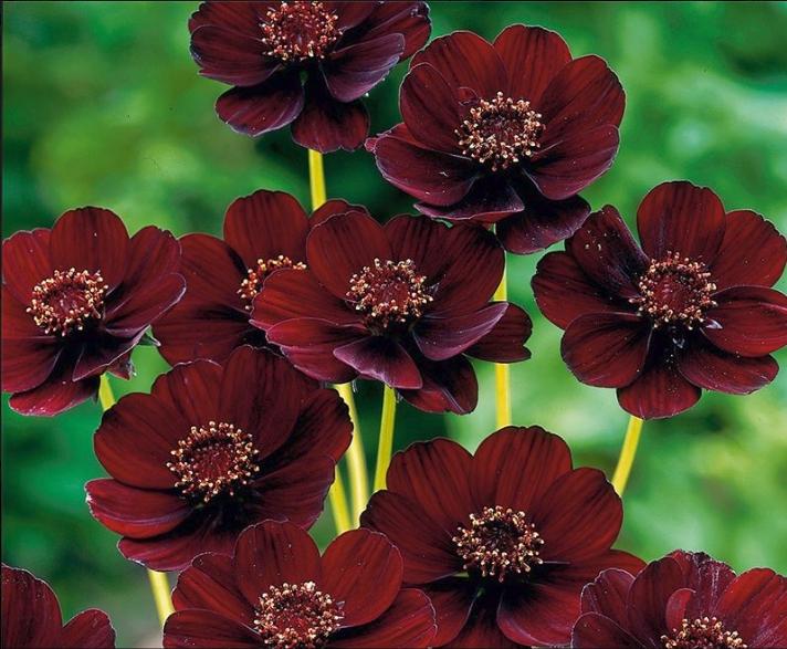 Super Il Cosmos atrosanguineus è un fiore che profuma di cioccolato, ed  IX47