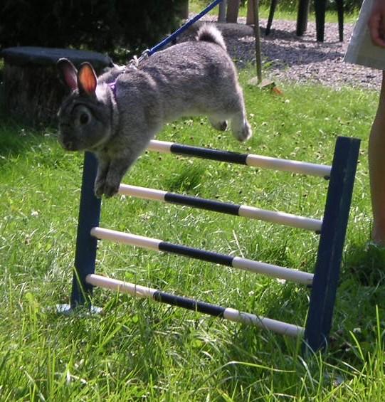 Gara di salto dei conigli