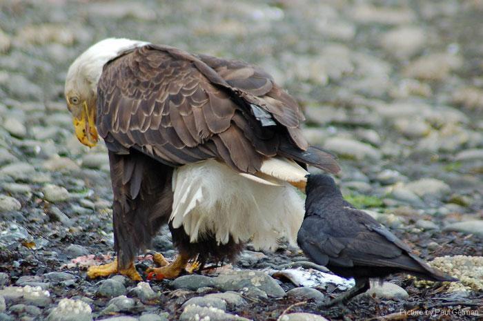 corvi tirano code degli altri animali