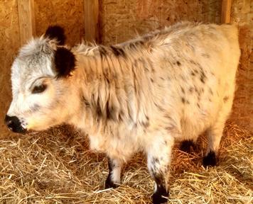mini mucche