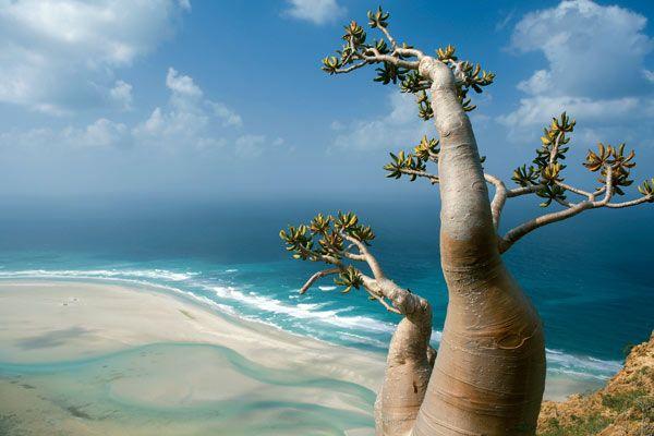 piante dell'isola di Socotra