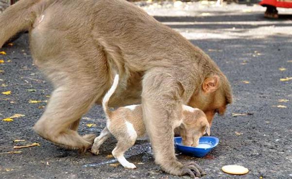 Scimmia che ha adottato un cane