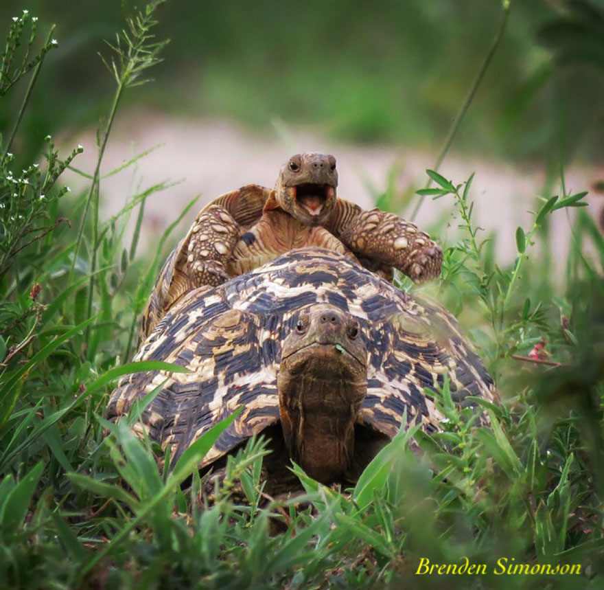 Tartaruga che cavalca una tartaruga