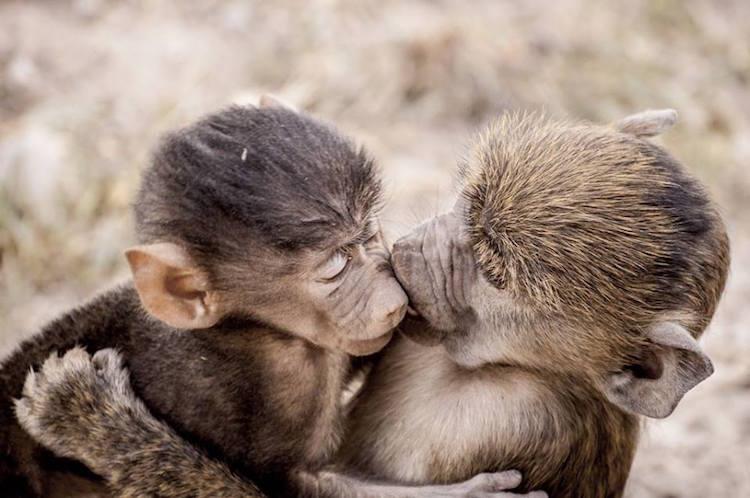 Scimmiette che si baciano