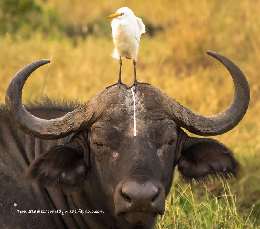 Bufalo con un uccello in testa