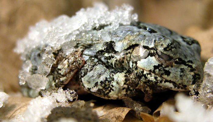 rana del legno alaskana congelata