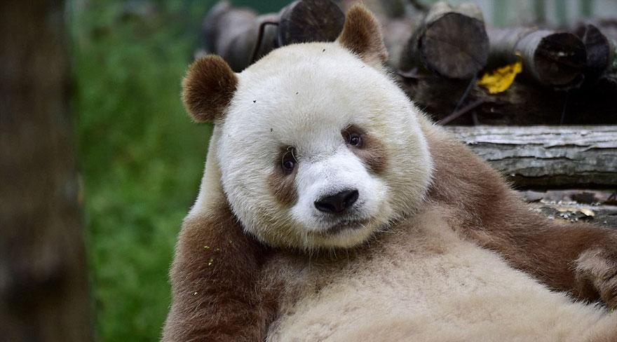panda marrone unico al mondo