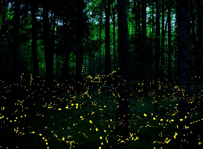 lucciole sincrone nelle Smokey Mountains