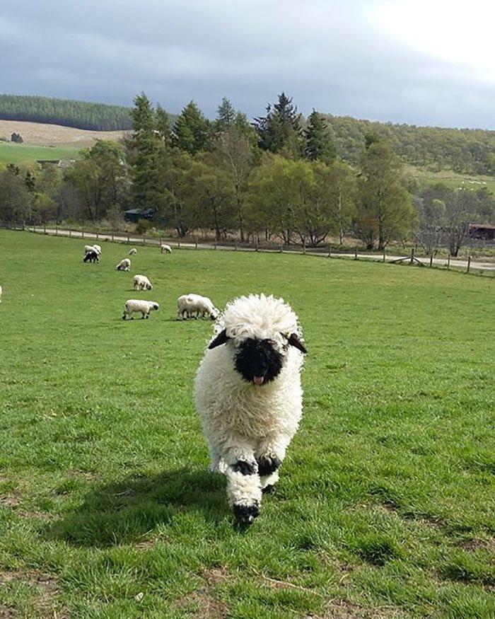 pecore naso nero del vallese