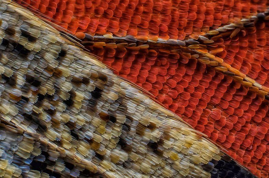 Squame di un'ala di farfalla