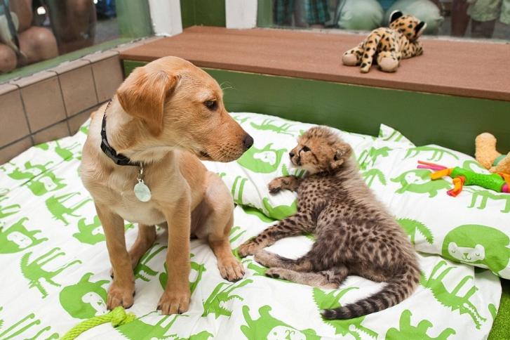 ghepardo e cane