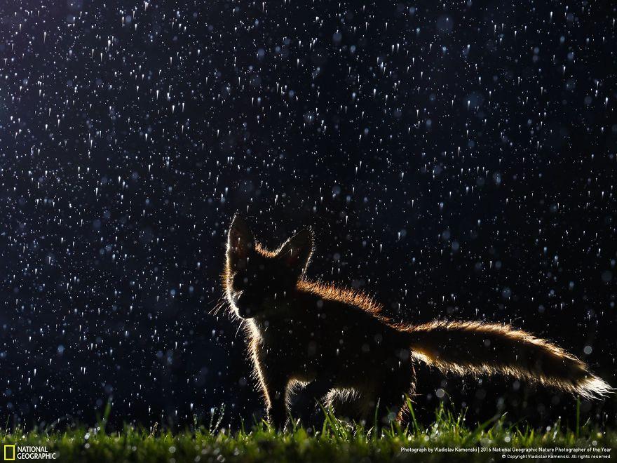 Una volpe che danza sotto la pioggia