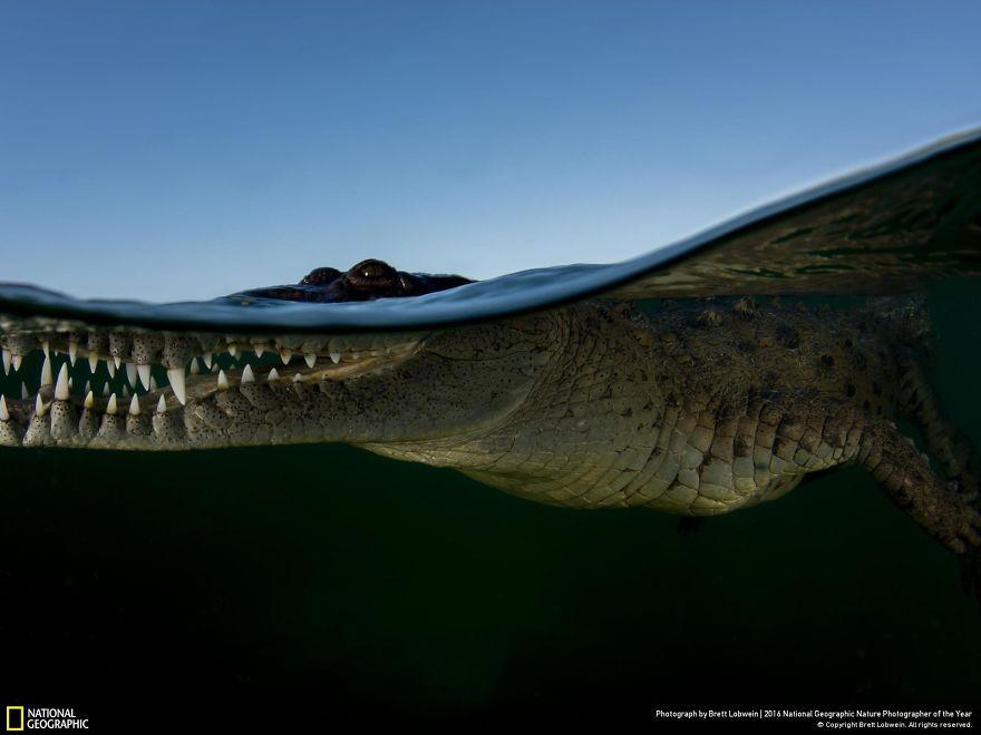 Coccodrillo sul filo dell'acqua, a Cuba