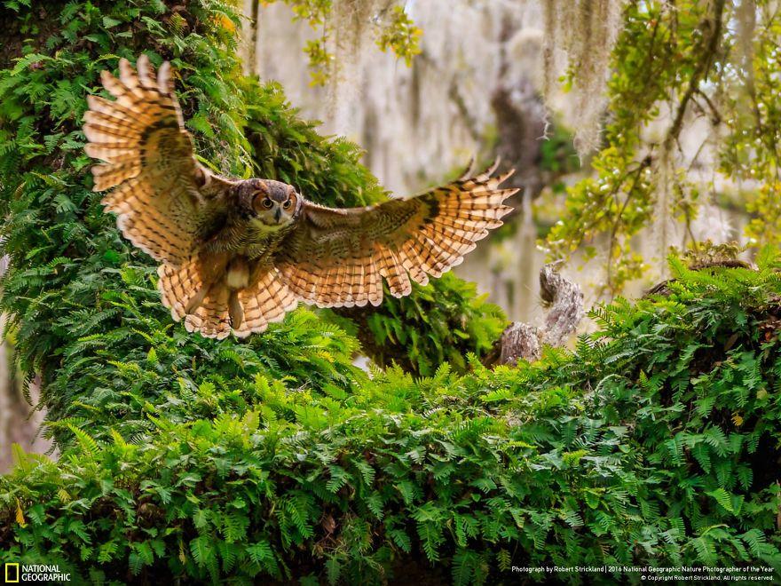Gufo della Virginia che torna al suo nido
