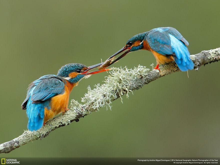 Due martin pescatori che si passano il cibo