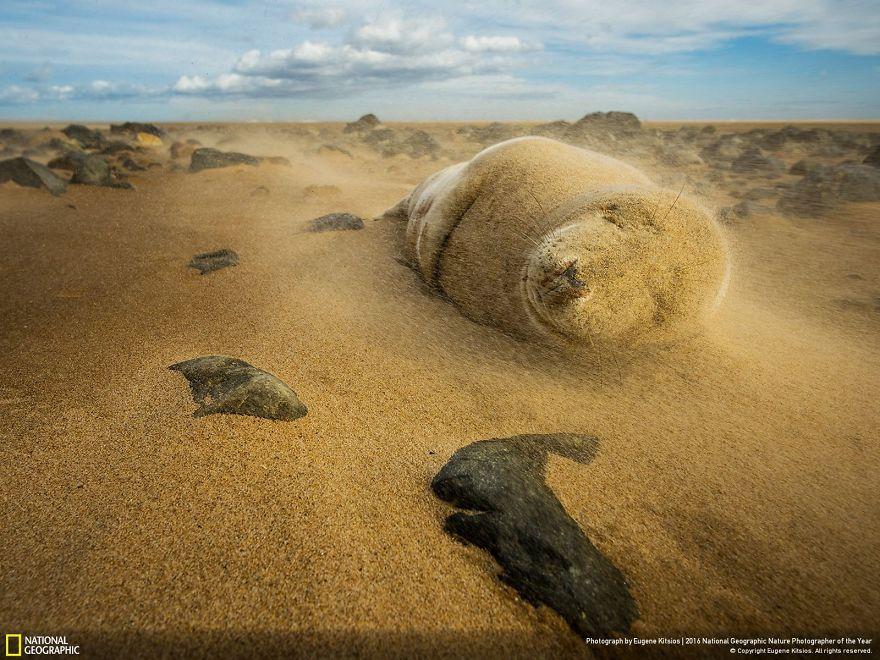 Foca grigia in una tempesta di sabbia