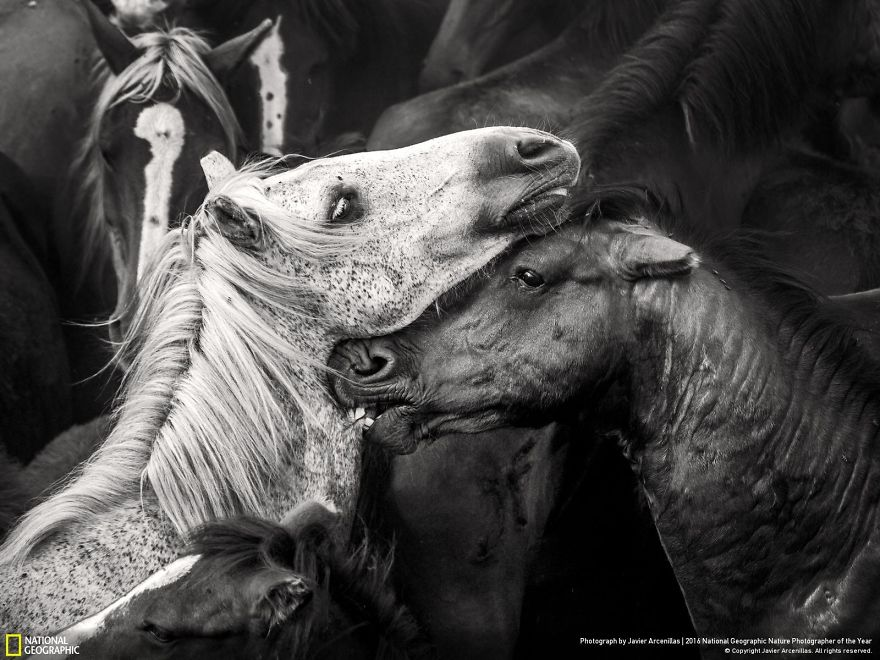 Due cavalli selvaggi in Galizia