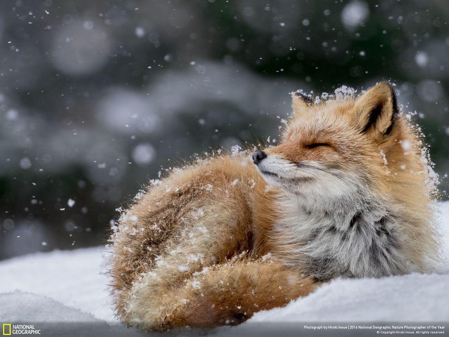 Una volpe sotto i fiocchi di neve