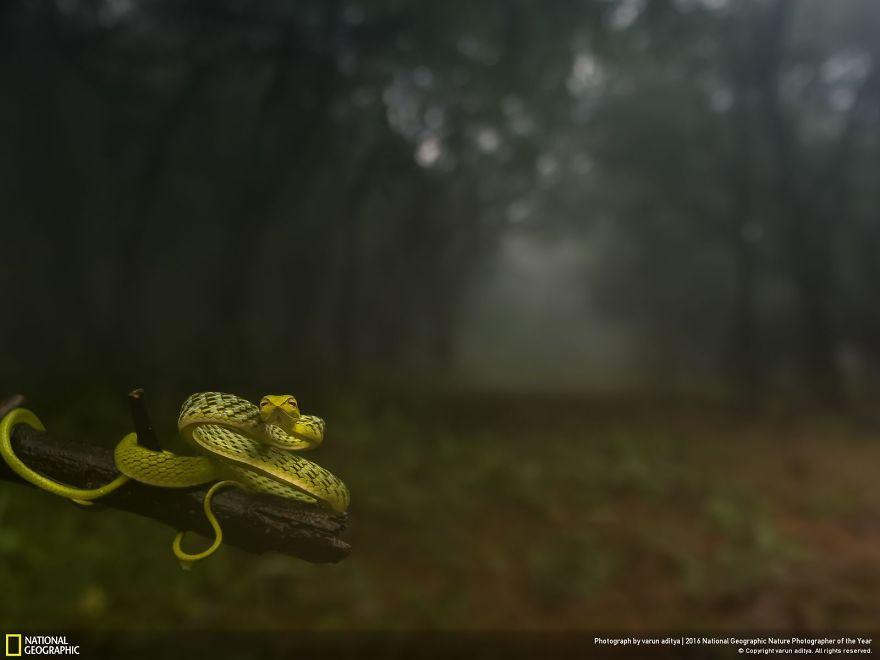 Serpente verde della vite in un bosco