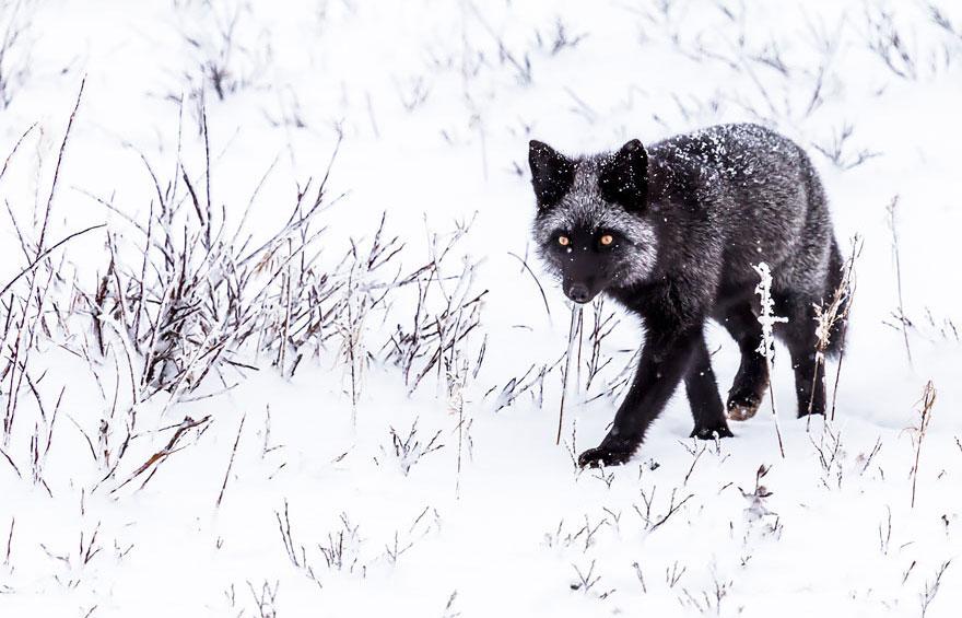 volpi nella neve