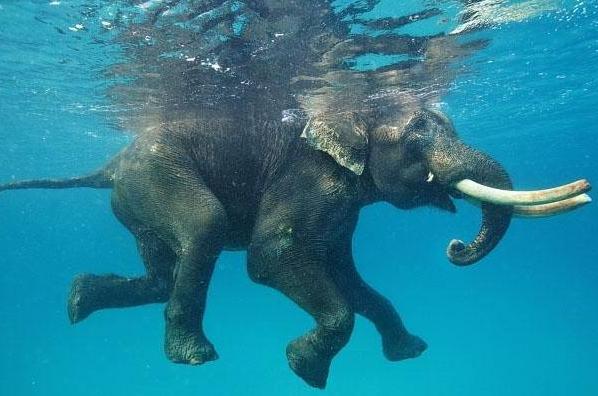 elefante che nuota