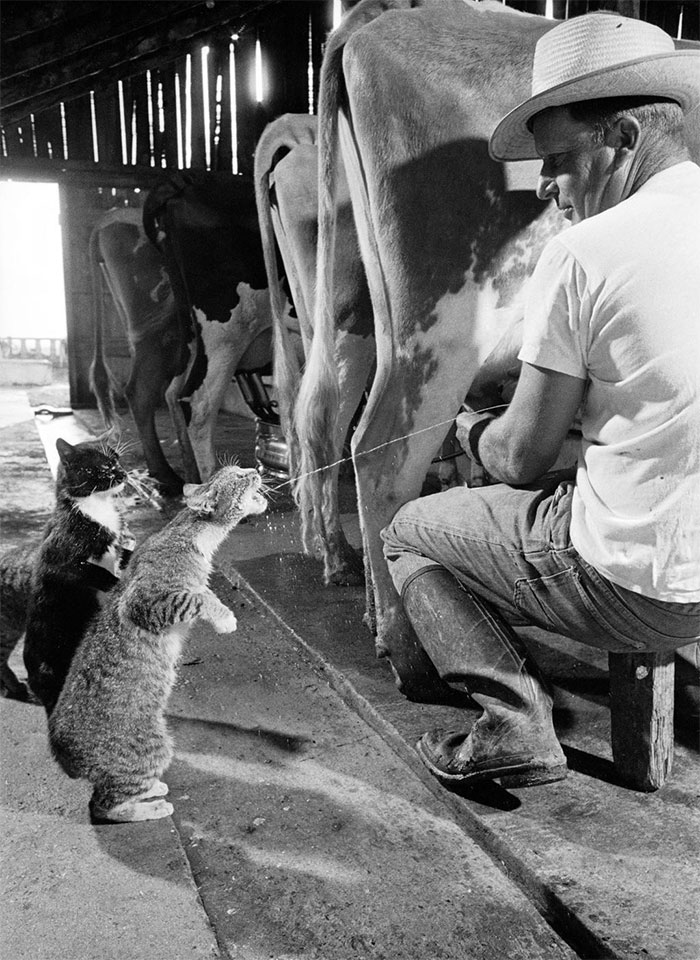 Gattini bevono latte freschissimo, 1954