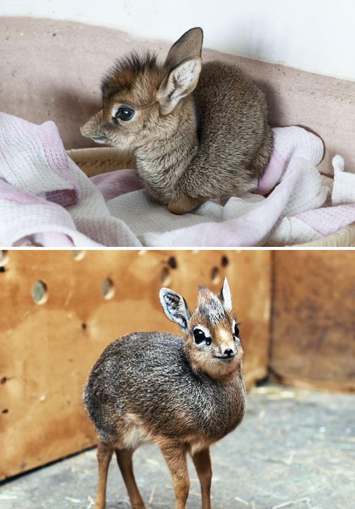 Cuccioli di dik-dik, piccola antilope africana