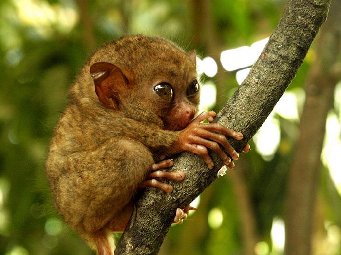 Cucciolo del primate tarsio spettro o maki folletto