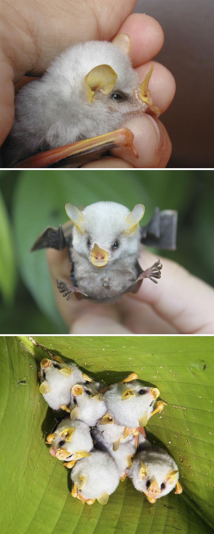 Cuccioio di pipistrello bianco dell'Honduras