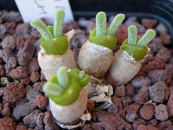 Monilaria obconica pianta grassa con orecchie di coniglio