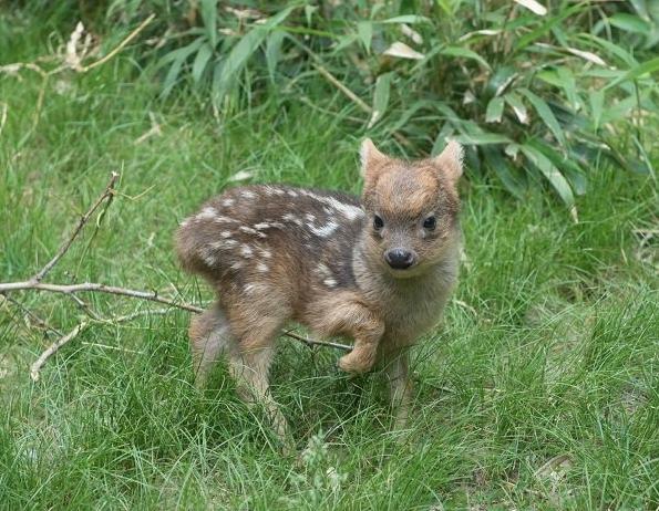 pudu puda cervo più piccolo al mondo