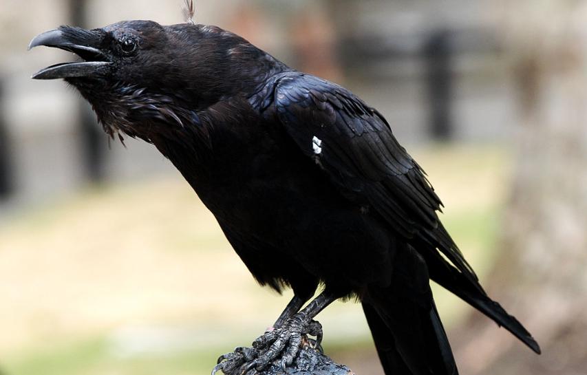 corvi della torre di londra