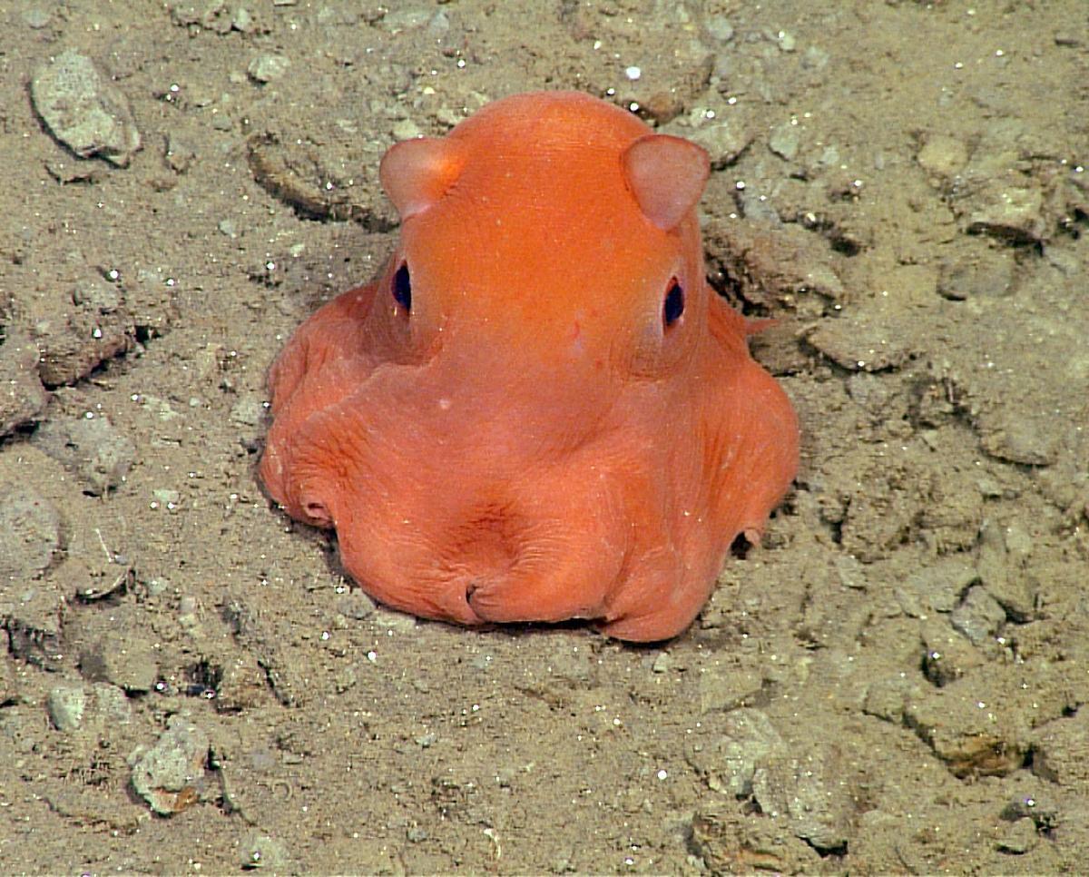 polpo Opisthoteuthis adorabilis