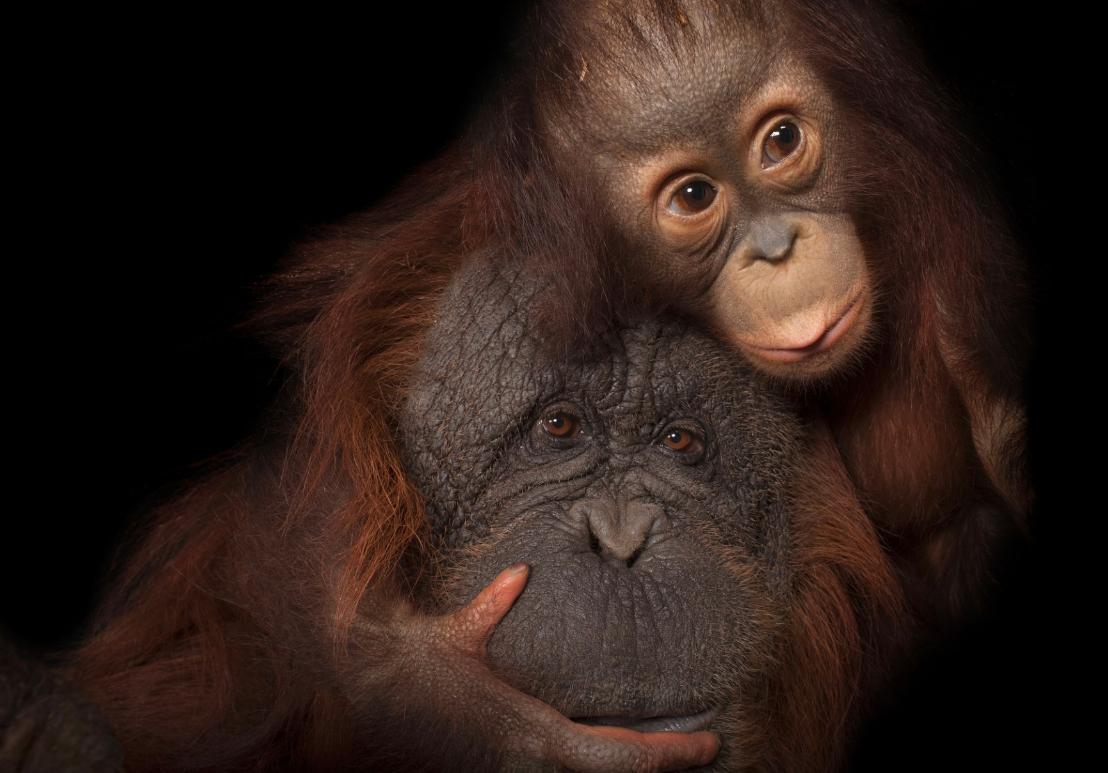 Orango del Borneo con la madre adottiva