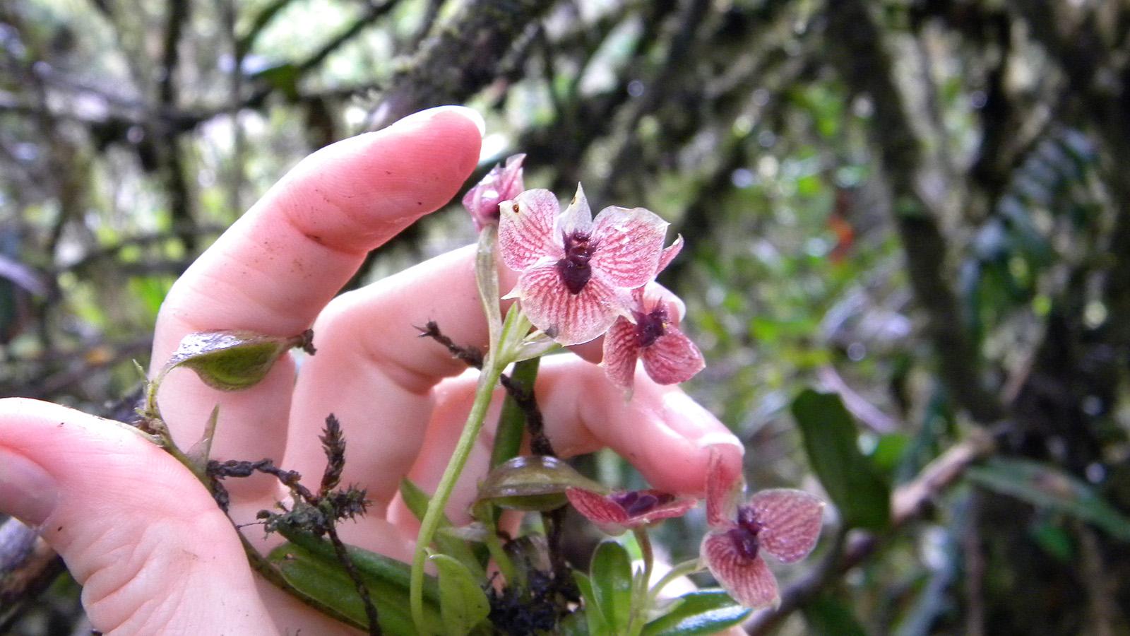 orchidea a forma di demone