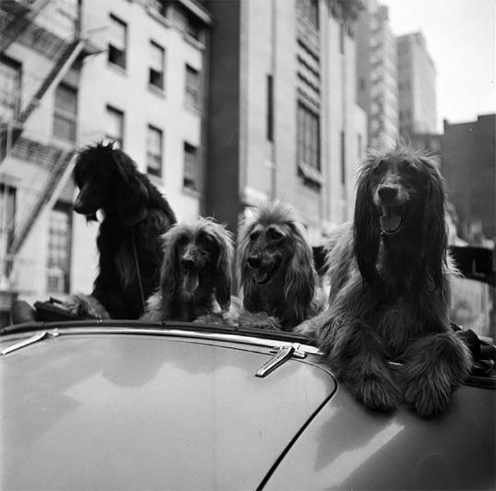 Cani in una decappottabile